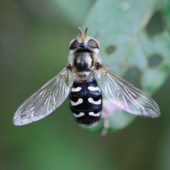 Syrphidae, Scaeva pyrastri femelle