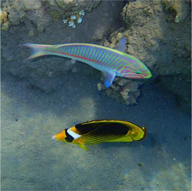 Tabak-Falterfisch und sein Regenbogen-Buddy