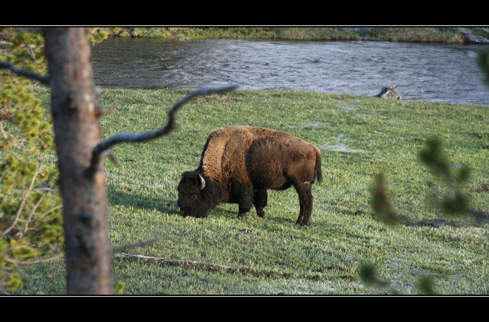 "Tag 4-8: Auf dem Weg zum Yellowstone ""Buffallo"""