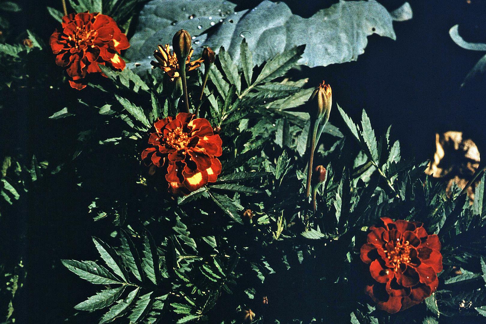 Tagetes und Kohblätter mit Tauperlen - 2