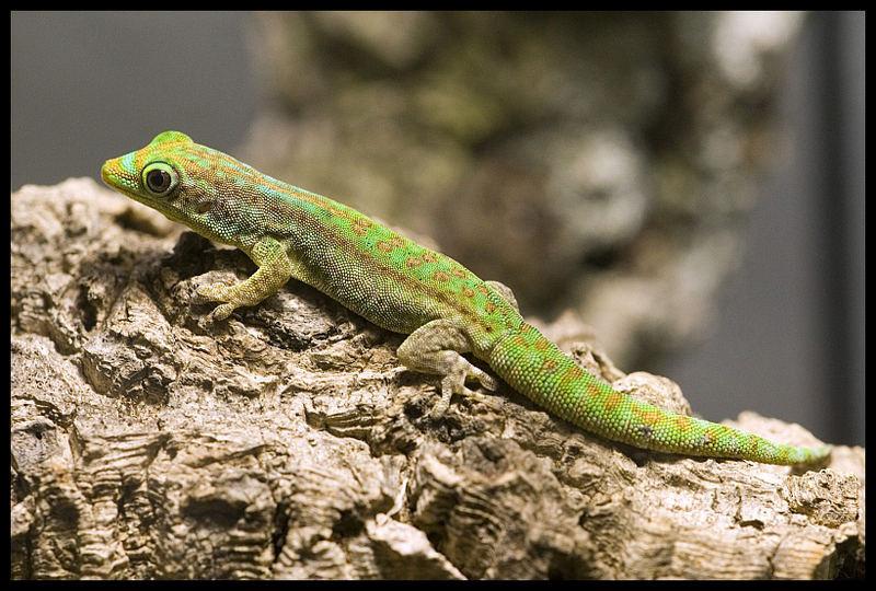 Taggecko aus Mauritius...