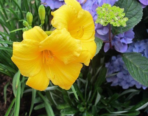 Taglilie in meiner Zinkwanne