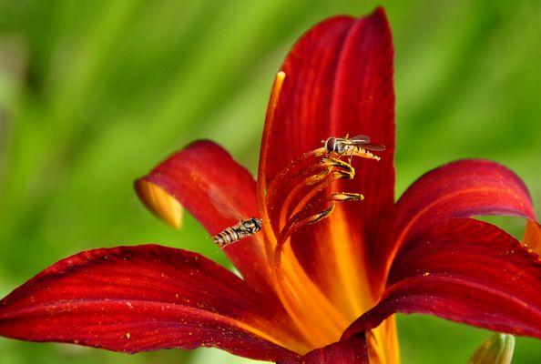 --- Taglilie oder die Zwei..............---
