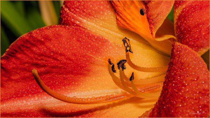 Taglilien-Innenleben