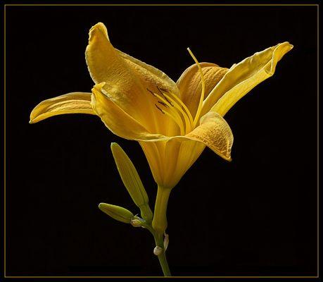 Taglilien sind sehr elegant und haben einen wundervollen Schwung
