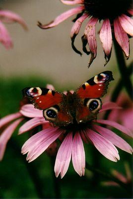 Tagpfauenauge auf Echinacea