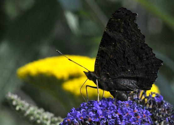Tagpfauenauge auf einem Schmetterlingsflieder