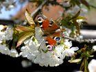 Tagpfauenauge auf Kirschblüten