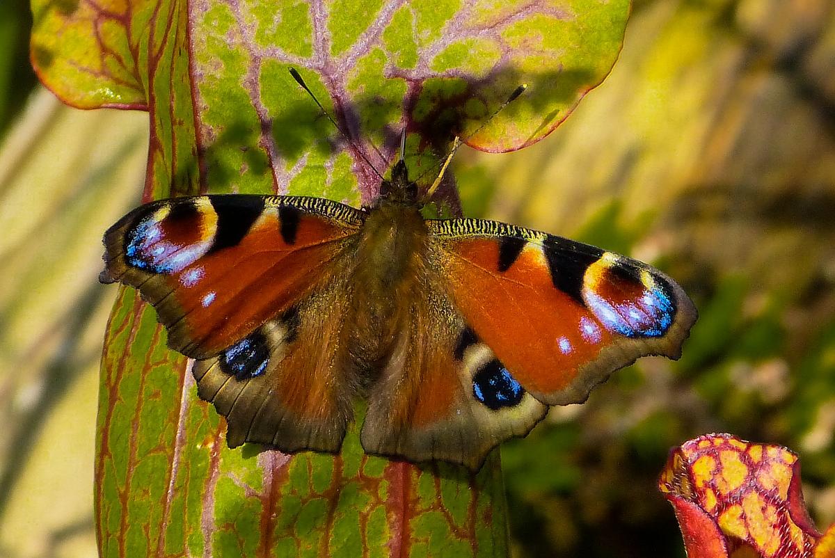 Tagpfauenauge - Der Schmetterling des Jahres 2009
