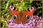 Tagpfauenauge Inachis io - frisch geschlüpft