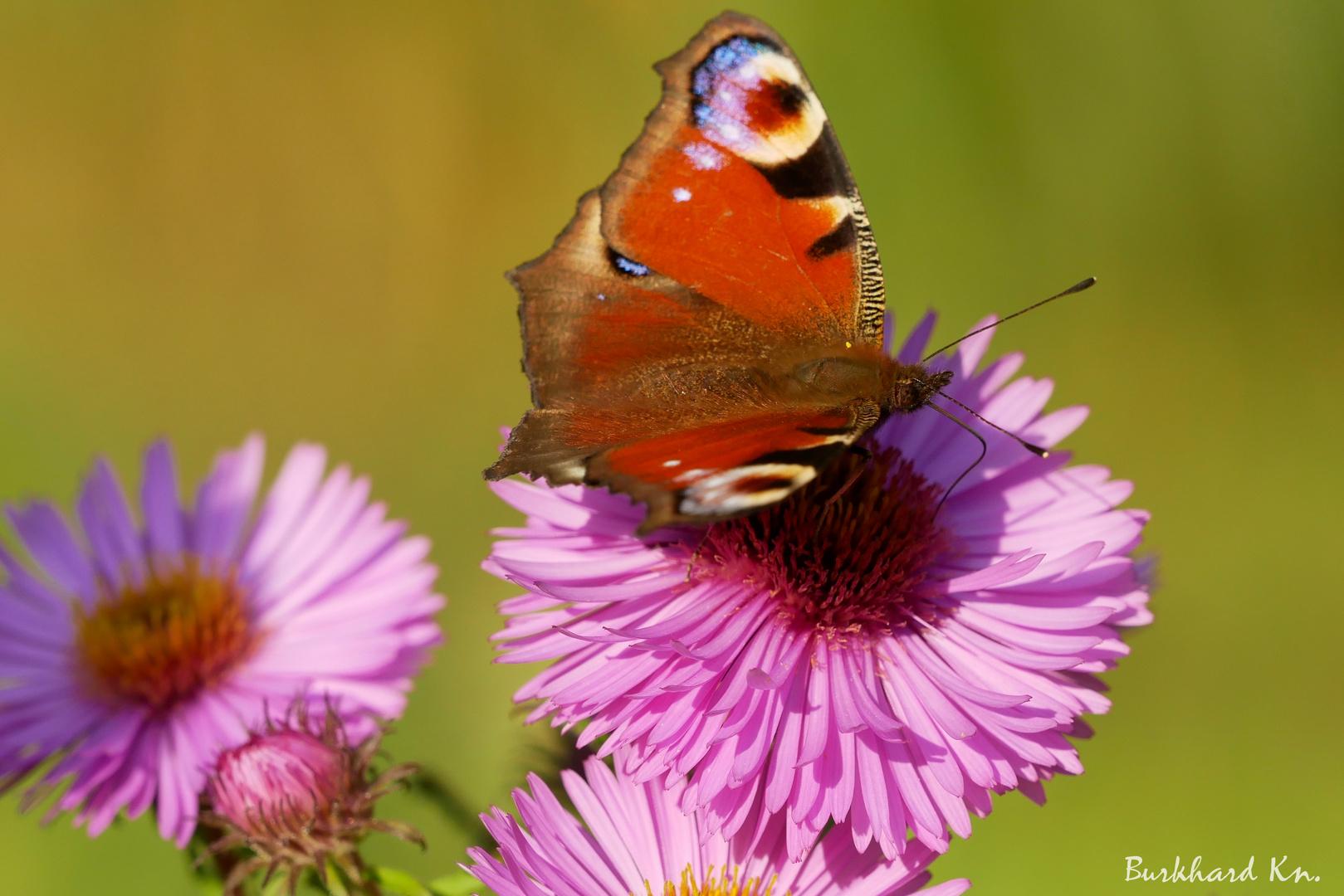 Tagpfauenauge - Schmetterling des Jahres 2009