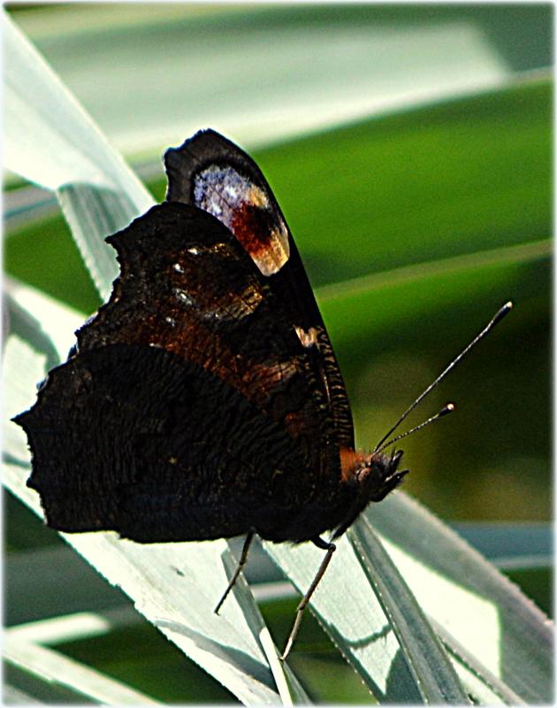 TAGPFAU(Inachis io)