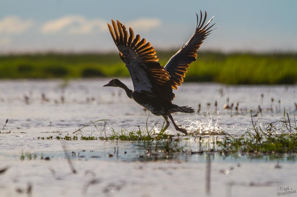 Take OFF II Sporen Gans (Spur-winged-Goose)