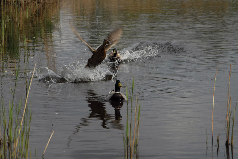 Take-off of the Duck