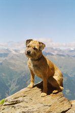 Tammy - Border Terrier