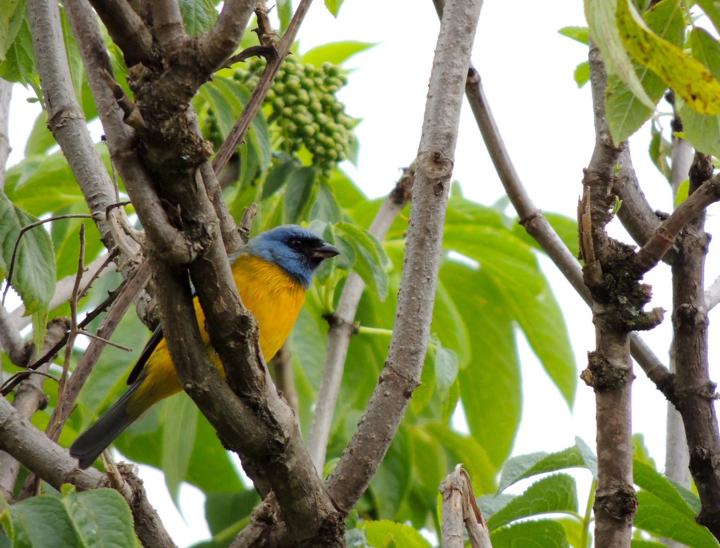 Tangara Azul y Amarilla