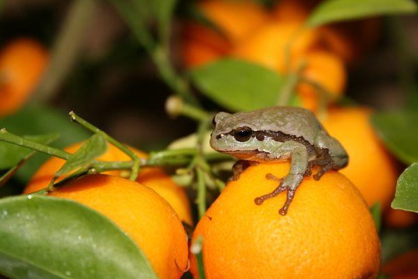 Tangerine frog