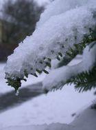 Tanne im Schnee
