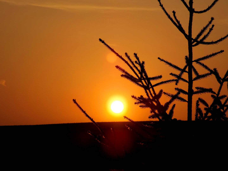 Tanne im Sonnenuntergang