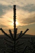 Tanne in Morgensonne