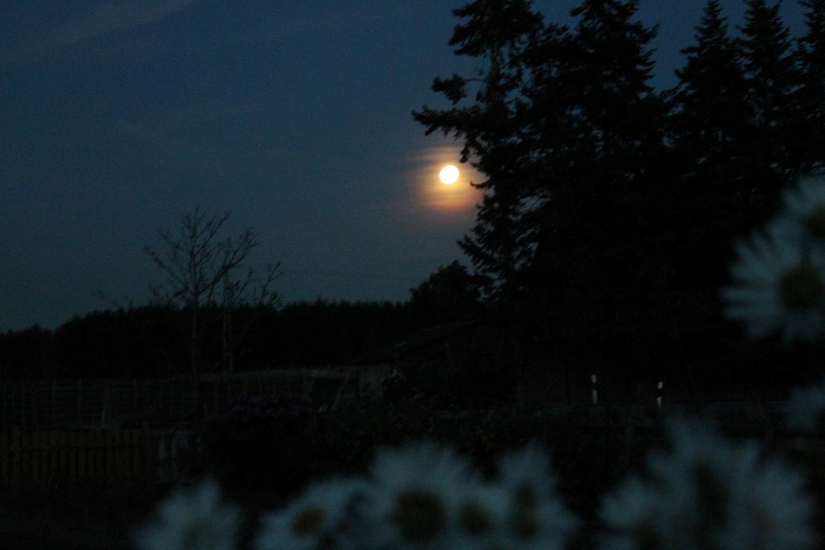 Tannen im Mondlicht