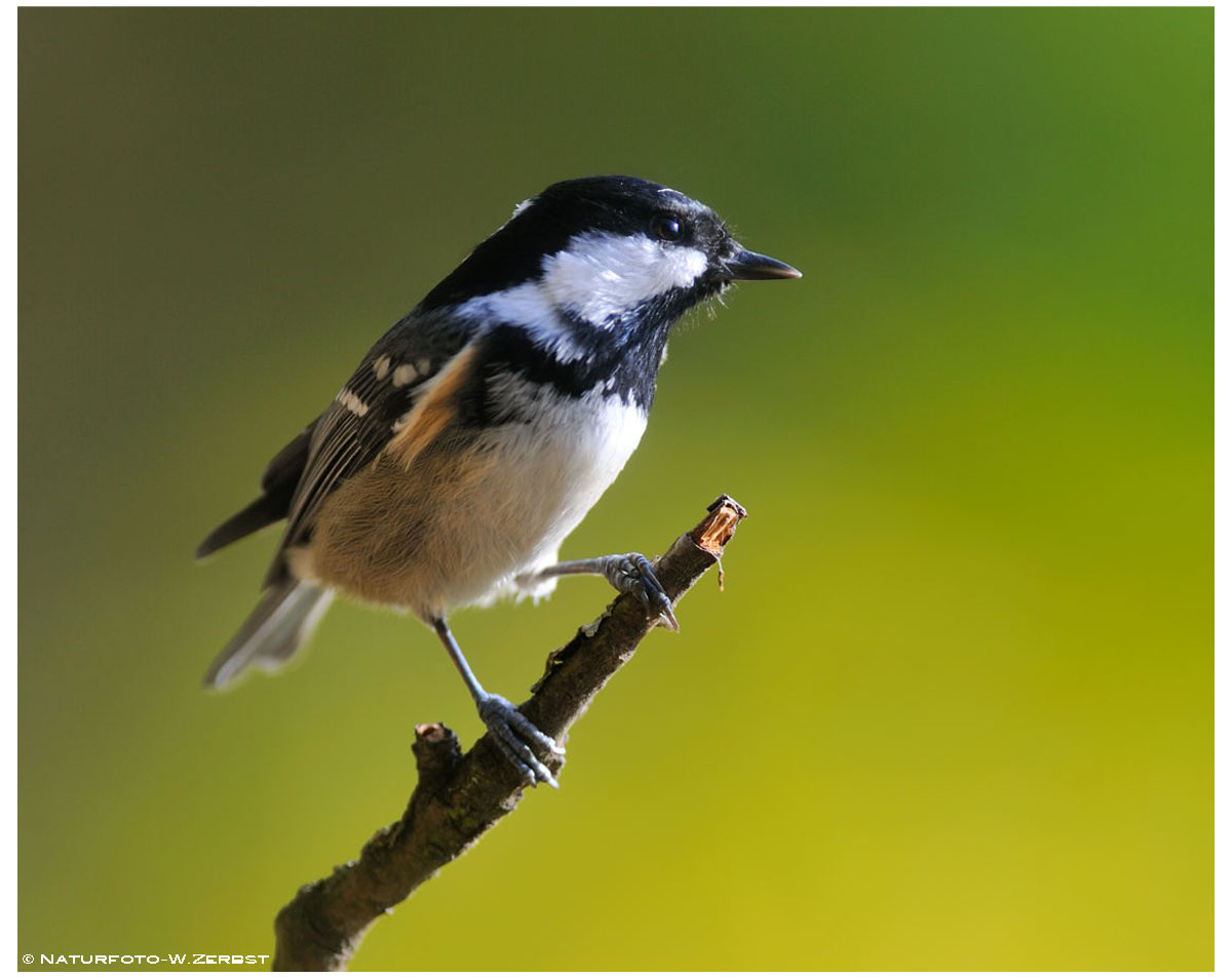 -- Tannenmeise Nr 2. -- ( Parus ater )