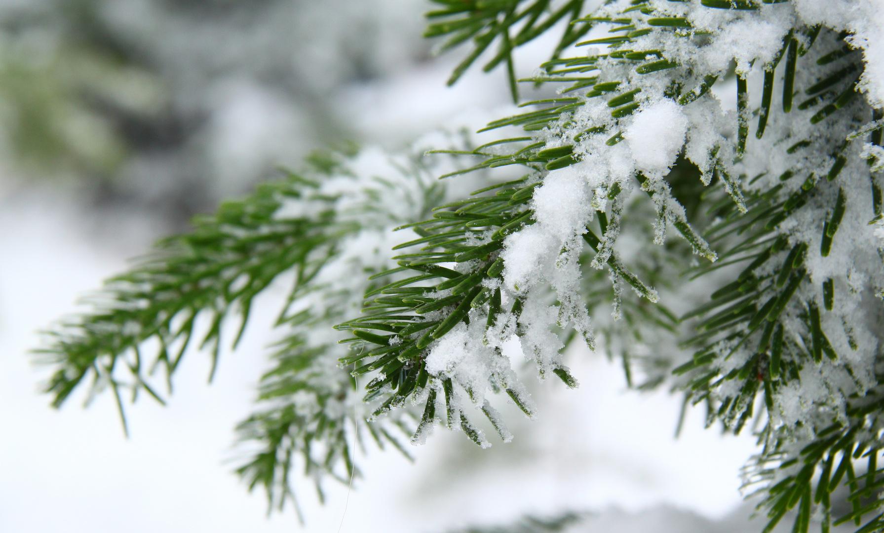 tannenzweig mit schnee foto bild jahreszeiten winter. Black Bedroom Furniture Sets. Home Design Ideas