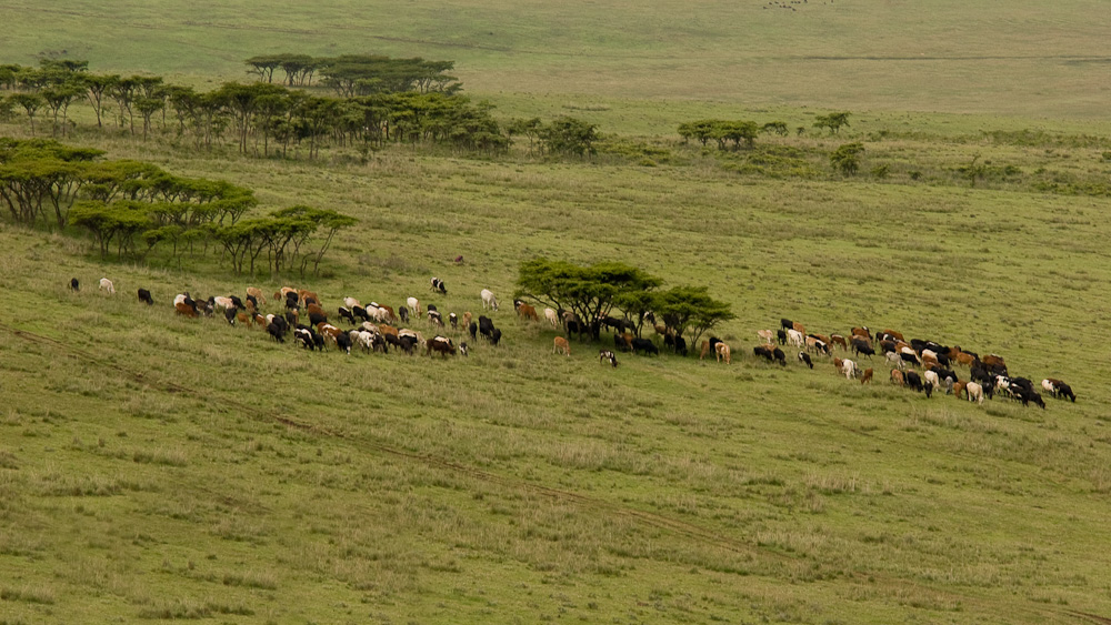 Tansania - Rinderherde