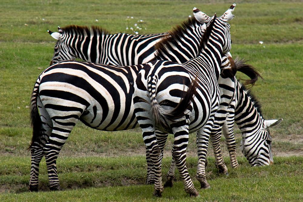 Tansania - Zebrastreifen