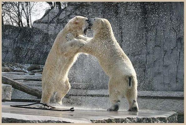 Tanz der Eisbären II