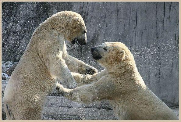 Tanz der Eisbären III