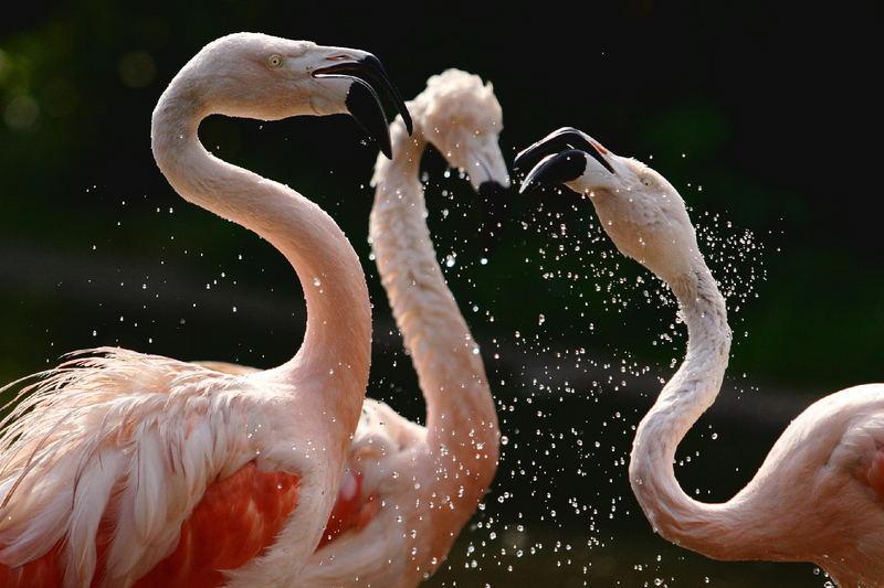 Tanz der Flamingos