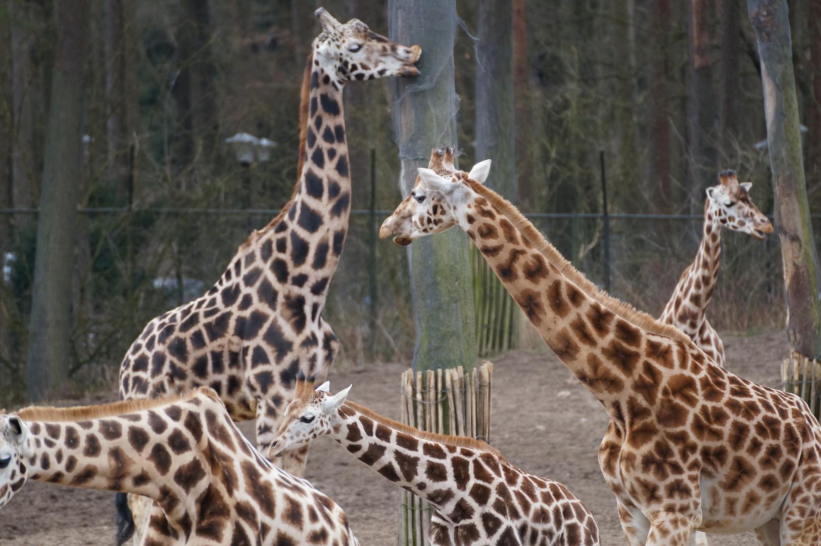 Tanz der Giraffen