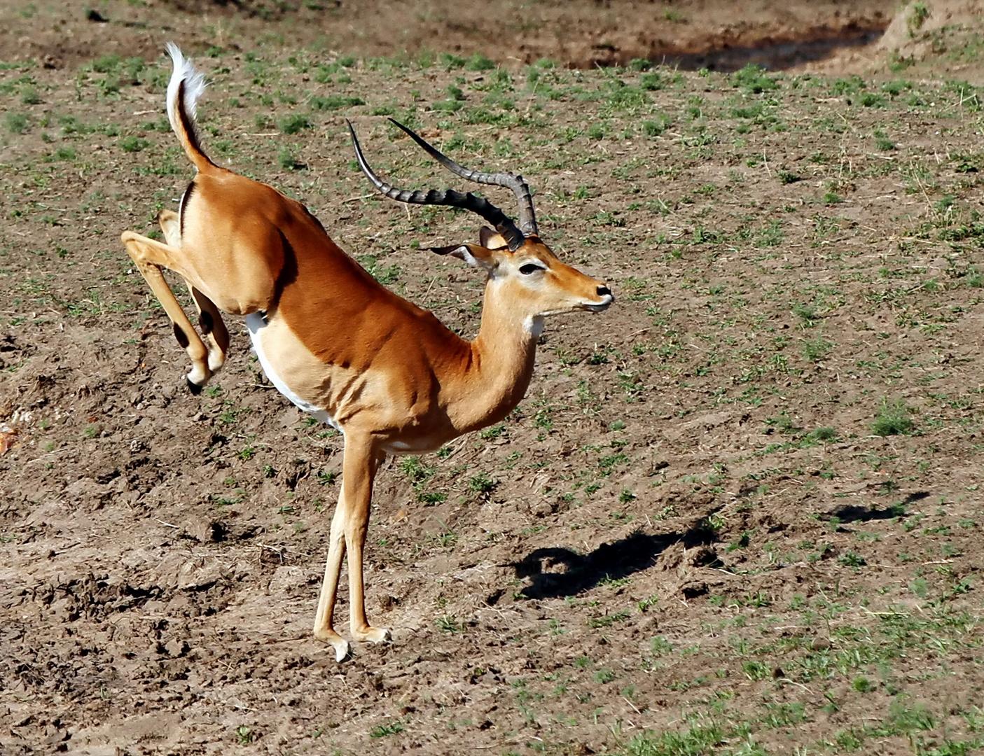 ....Tanz der Impala....3....