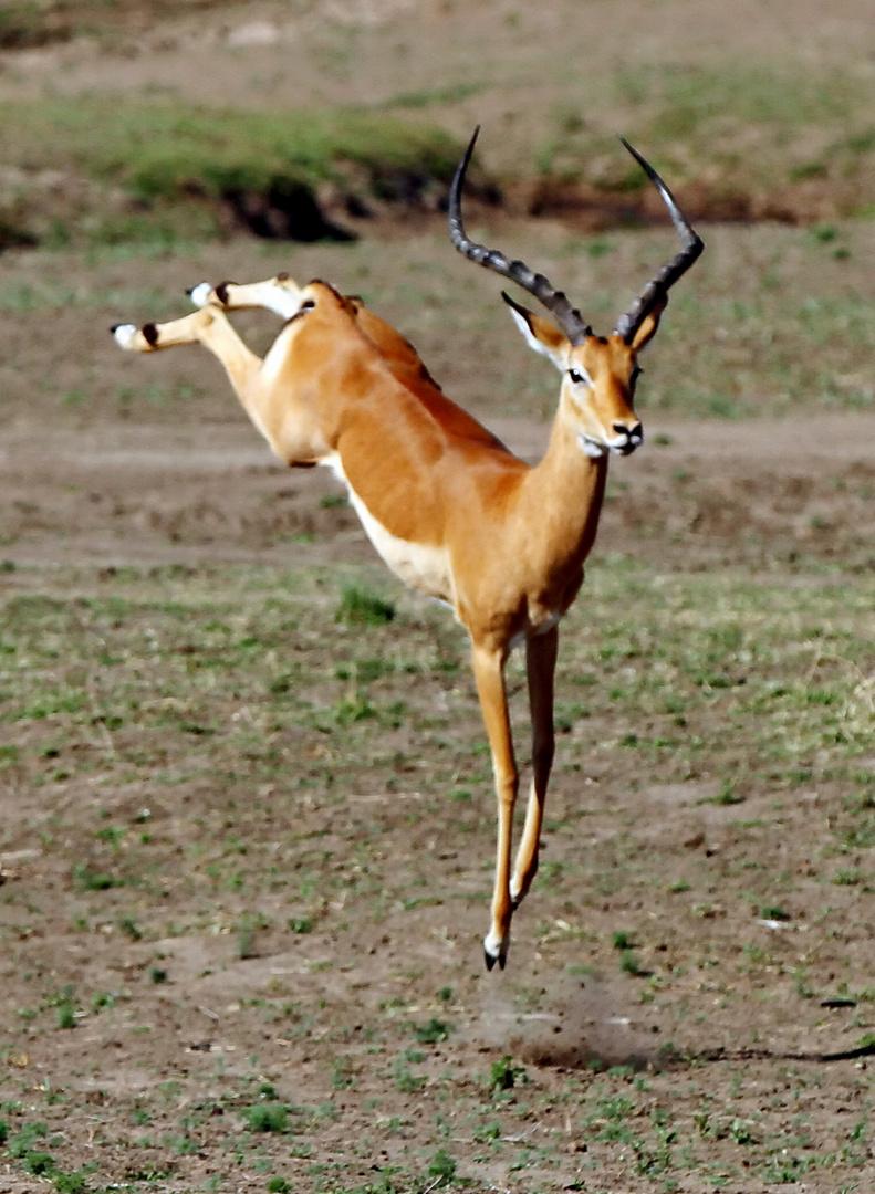 .....Tanz der Impala...6-9...die Fortsetzung....