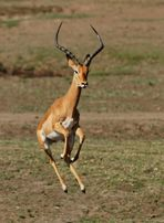 .....Tanz der Impala...7....
