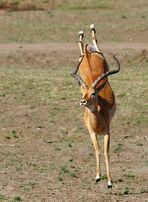 .....Tanz der Impala...8....