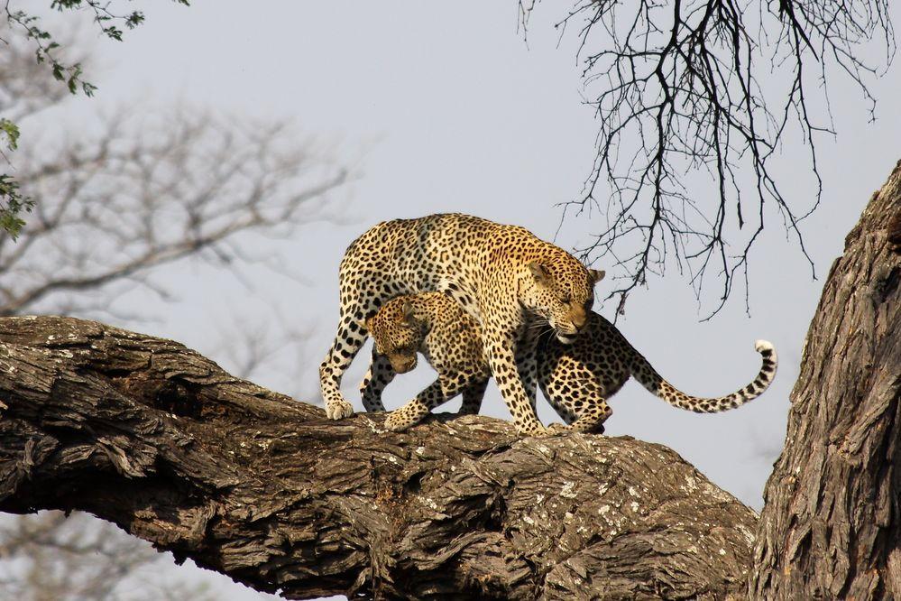 Tanz der Leoparden von Sibylle Brodmann