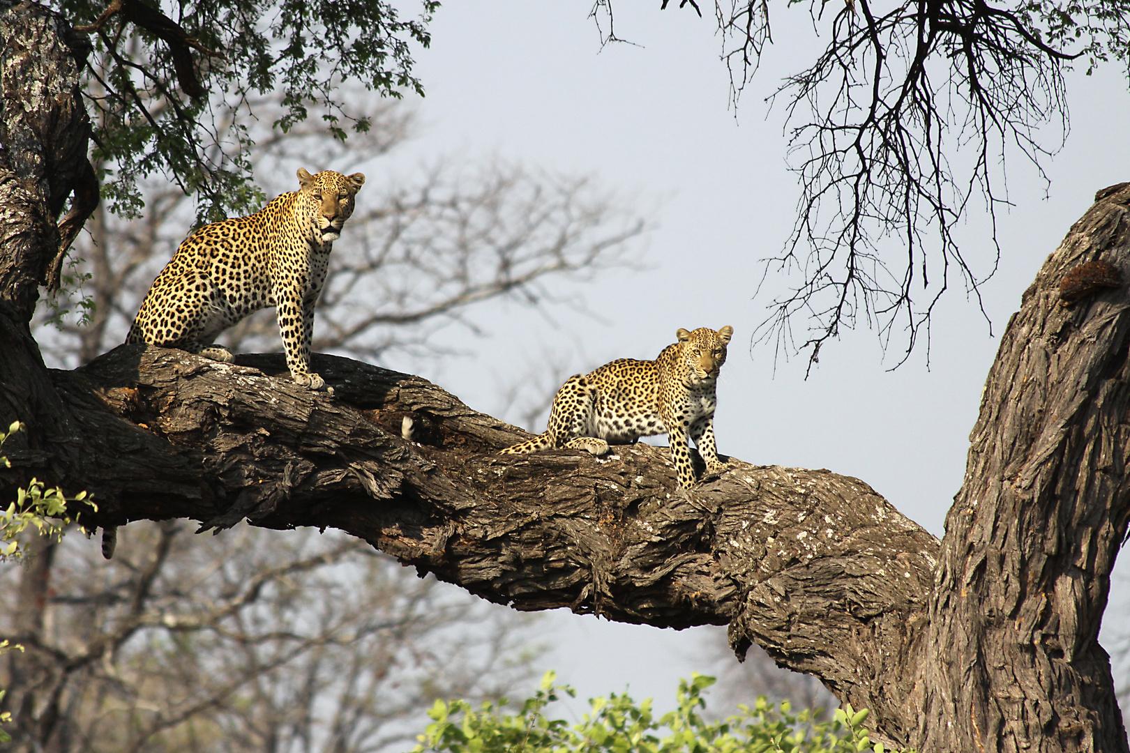 Tanz der Leoparden 1