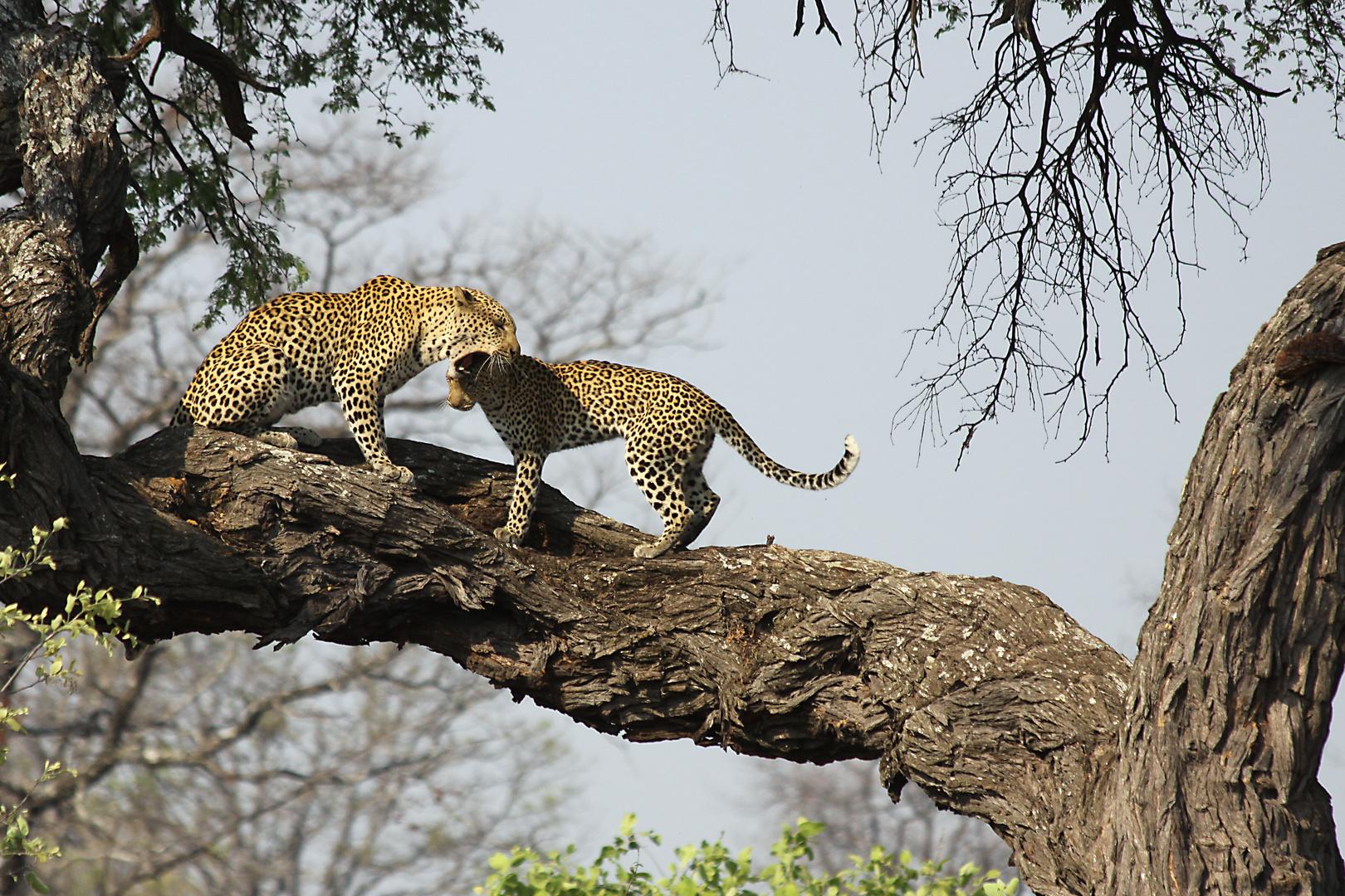 Tanz der Leoparden 2