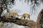 Tanz der Leoparden 5