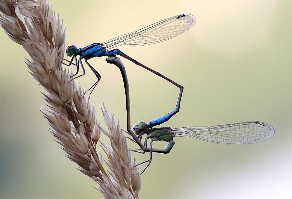 Tanz der Libellen II