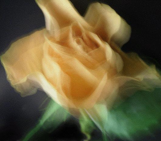 ... tanz der rose ...