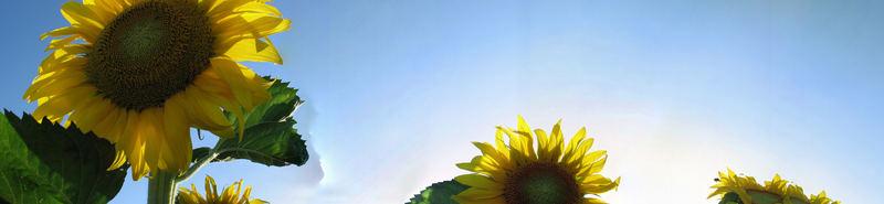 tanz der sonnenblume