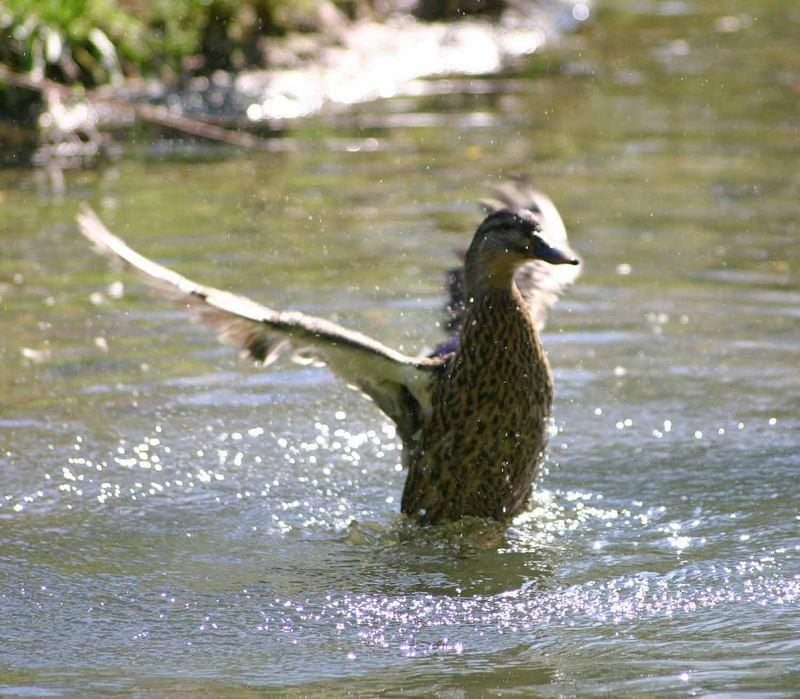 Tanz einer Ente #1