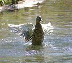 Tanz einer Ente #2