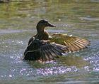 Tanz einer Ente #4