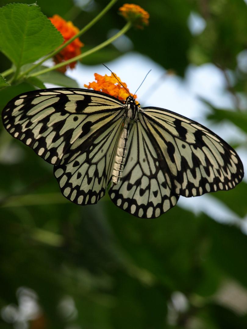 Tanz kleiner Schmetterling...