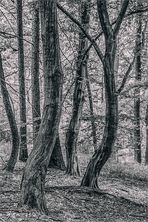 Tanzbäume
