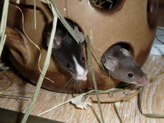 ... tanzen die Mäuse auf den Tischen ..